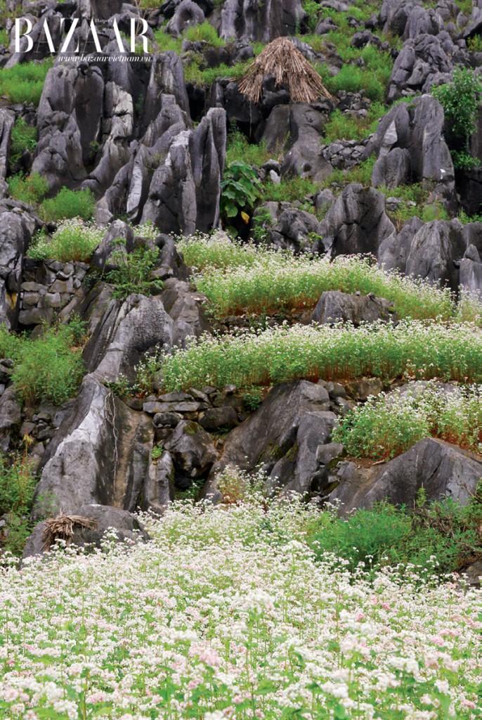 Hoa mọc xen kẽ vào các vách đá
