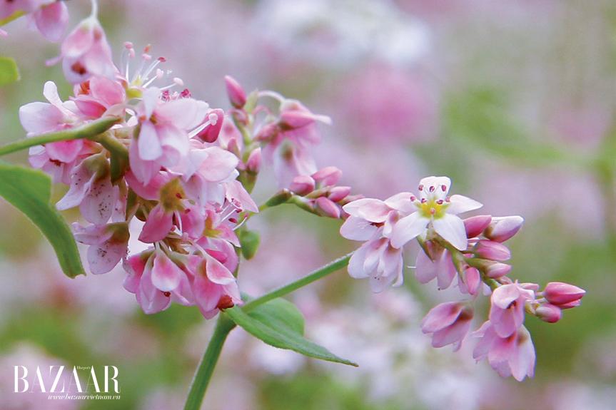 Hoa tam giác mạch màu hồng sẫm