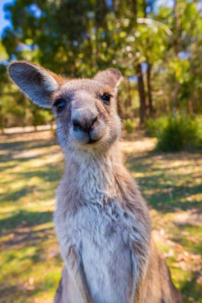 Úc là quốc gia có thiên nhiên hoang dã thú vị, bạn sẽ dễ dàng bắt gặp các loài động vật đáng yêu tại đây